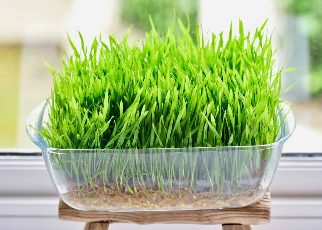 Why Include Organic Wheatgrass Powder In Your Diet 24 Mantra Organic